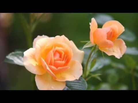 بالصور عبارات عن الورد , ارق الكلام عن الورود ذات الرائحة الروعة 244 11