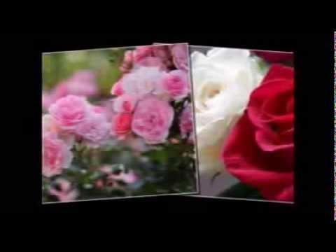 بالصور عبارات عن الورد , ارق الكلام عن الورود ذات الرائحة الروعة 244 8