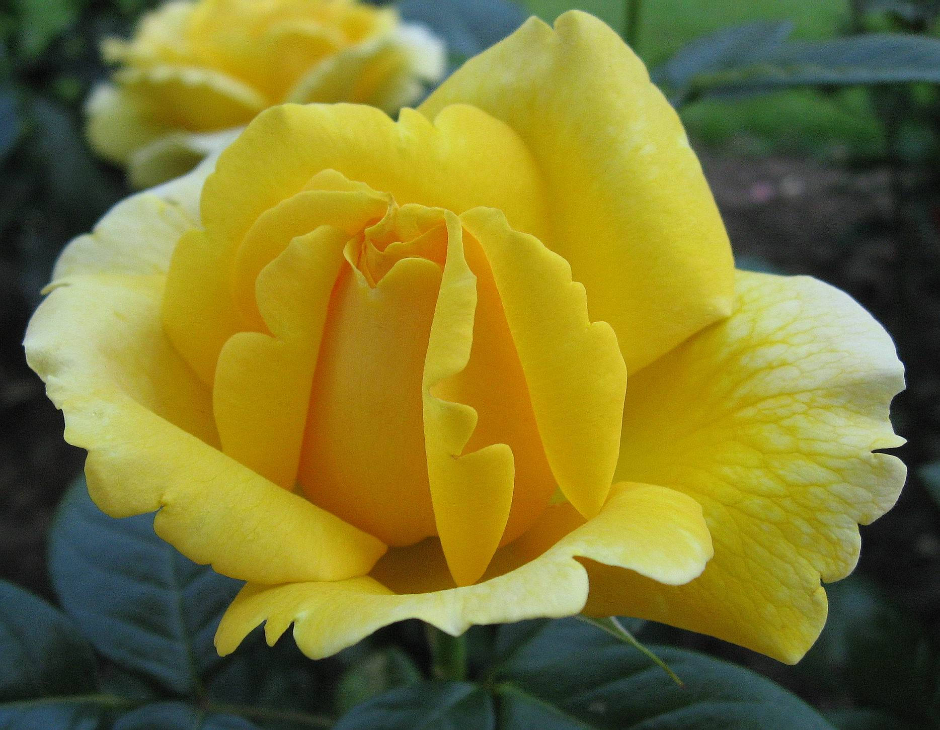 صوره صور ورد صور ورد , اجمل صور الورد الجميل