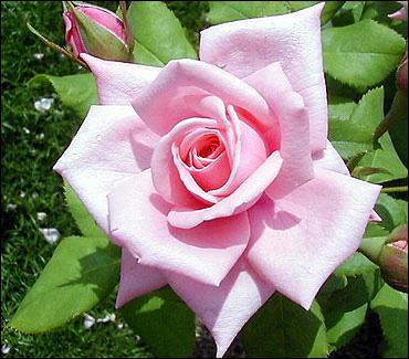 صورة صور ورد صور ورد , اجمل صور الورد الجميل 3709 5