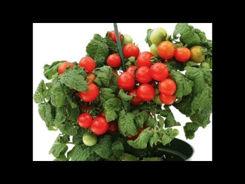 صوره فوائد الطماطم , اجمل واروع الفوائد للطماطم