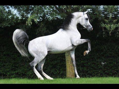 بالصور زمن الخيول البيضاء , اجمل الخيول الجميلة الروعة 468 2
