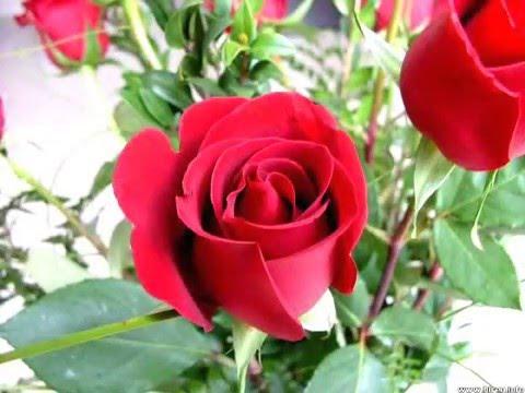 بالصور صور ورد جميل , اروع الورود الروعة الجميلة 505 1