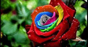 بالصور صور ورد جميل , اروع الورود الروعة الجميلة 505 13 310x165