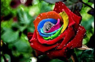صورة صور ورد جميل , اروع الورود الروعة الجميلة