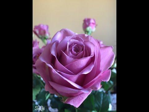 بالصور صور ورد جميل , اروع الورود الروعة الجميلة 505 4