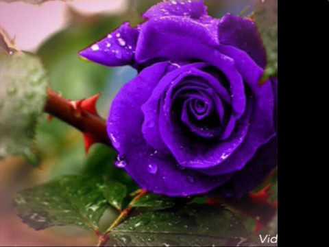 بالصور صور ورد جميل , اروع الورود الروعة الجميلة 505 5
