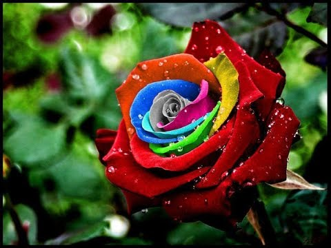 بالصور صور ورد جميل , اروع الورود الروعة الجميلة 505
