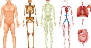 صوره صور جسم الانسان , صور لاعضاء جسم الانسان