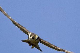 صوره اكبر طائر في العالم , طائر النعامه من اكبر الطيور فى العالم