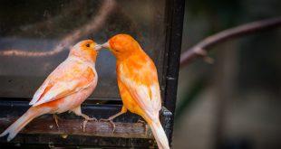 صورة انواع الكناري , اشكال جميله ومتنوعه لطائر الكنارى المدهش