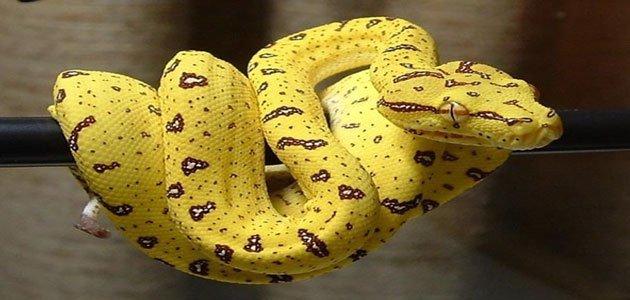 صور رؤية الافعى الصفراء في المنام , ما تفسير حلم الافعي