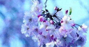بالصور اجمل زهرة بالعالم , زهور رائعه جدا 12778 12 310x165