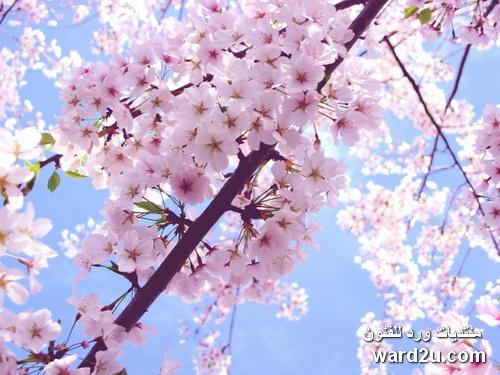 بالصور اجمل زهرة بالعالم , زهور رائعه جدا 12778 4