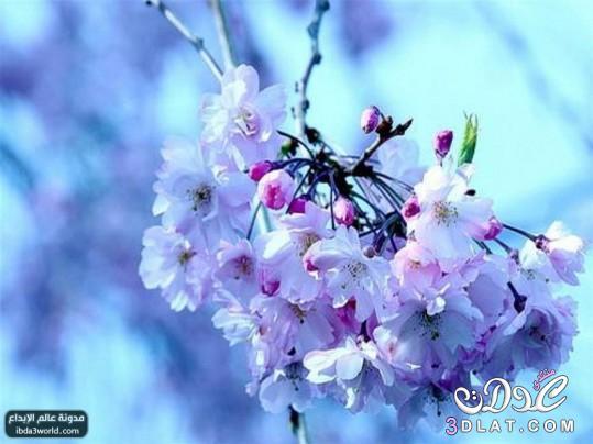 بالصور اجمل زهرة بالعالم , زهور رائعه جدا 12778