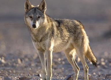 صورة تفسير رؤية الذئاب في المنام , ما هو تفسير الذئب في المنام