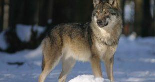 صور تفسير رؤية الذئاب في المنام , ما هو تفسير الذئب في المنام