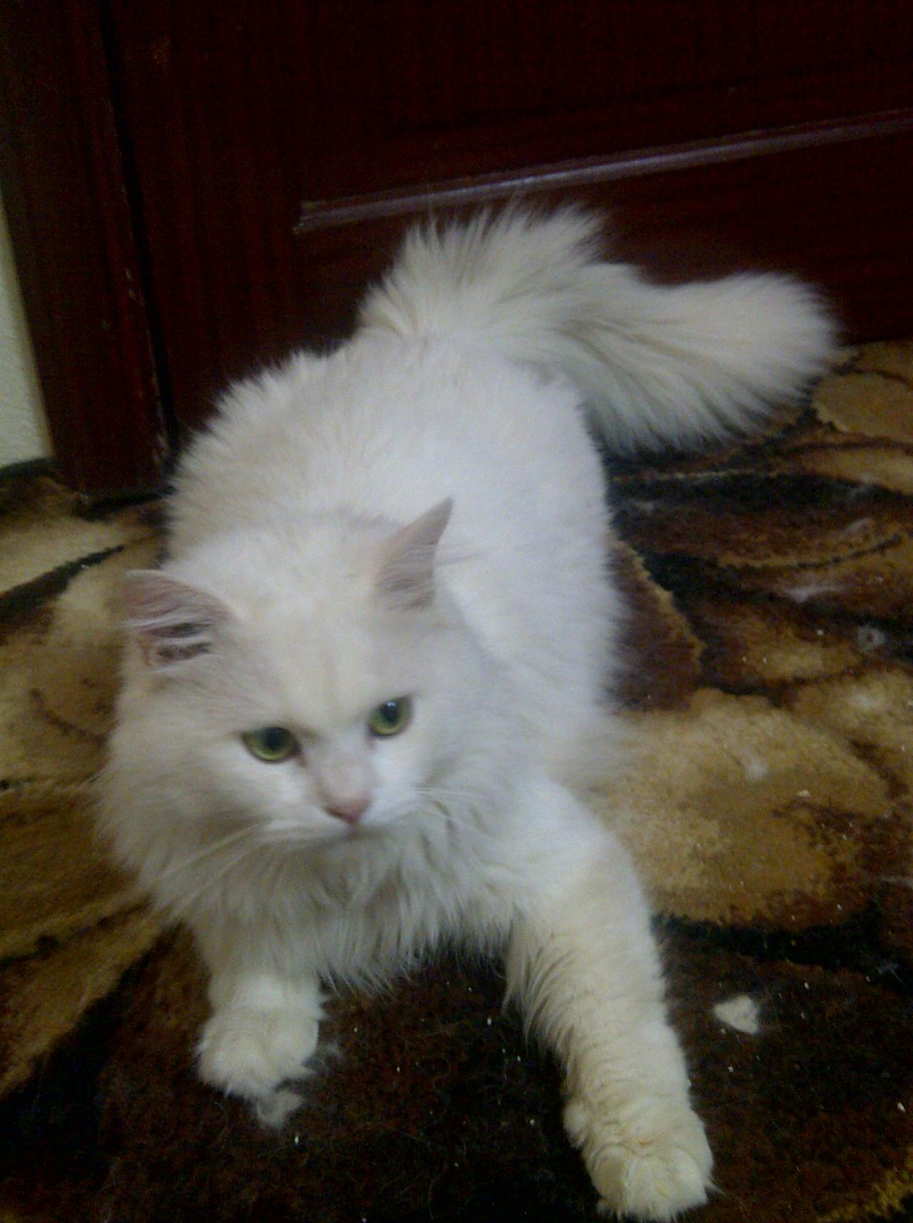 صورة قطط رومي, حبيت القطط من جمالها 2554 1