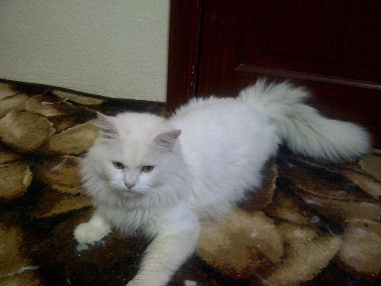 صورة قطط رومي, حبيت القطط من جمالها 2554 2