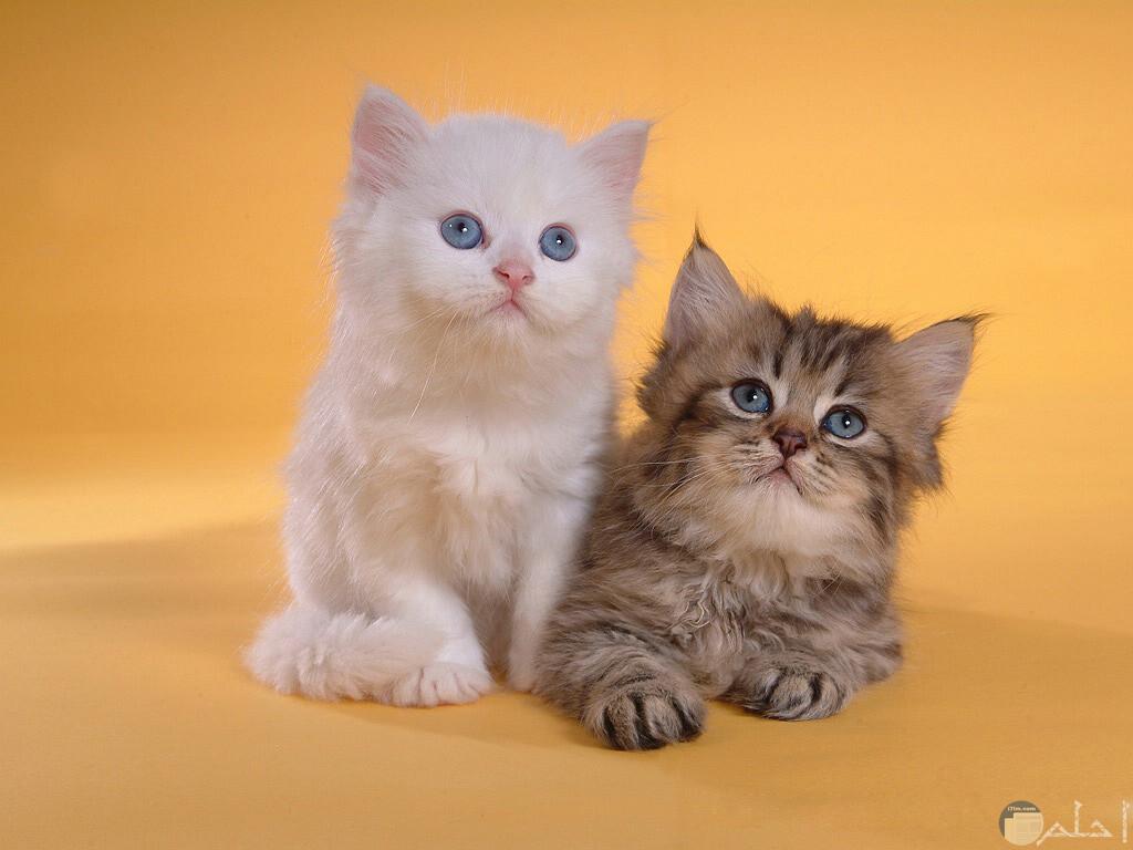 صورة قطط رومي, حبيت القطط من جمالها 2554 5